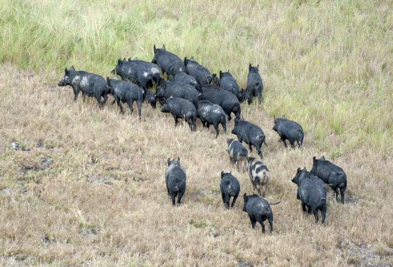 A herd of wild pigs