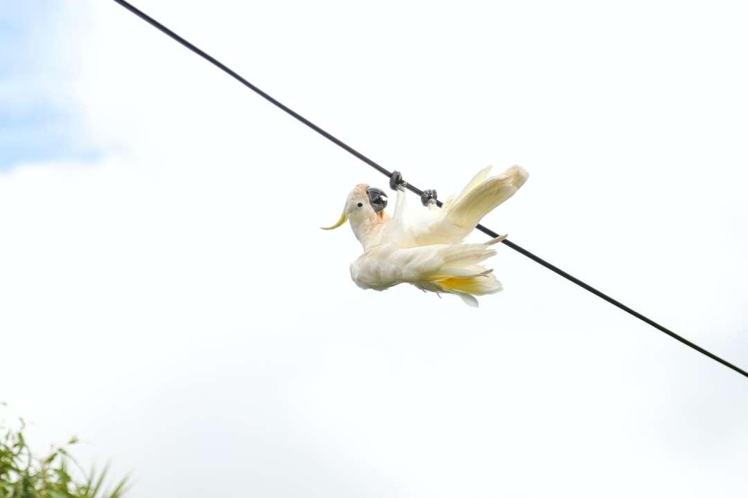 Upside down cockatoo on a powerline