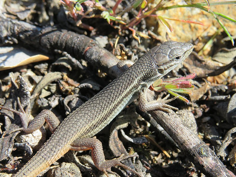Research showed the Mediterranean skink can smell a fire.