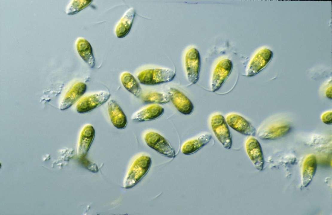 Yellow-green microorganisms