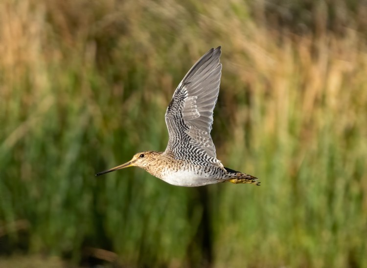 A Latham's Snipe flies past.
