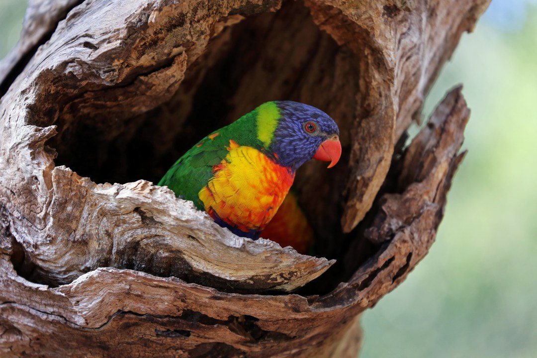 A rainbow lorikeet shelters in the hollow of a tree.