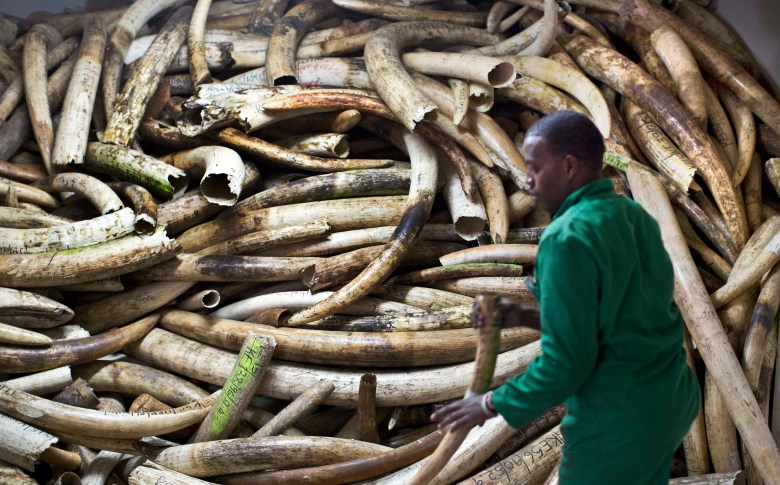 Man with pile of elephant tusks