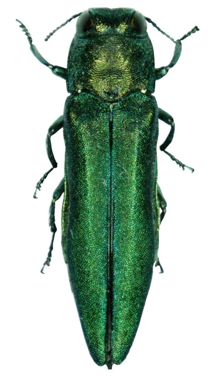 Metallic green beetle.