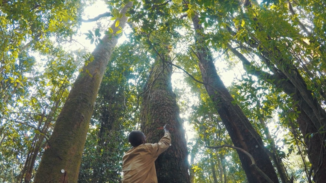 A person marks a tall tree with paint