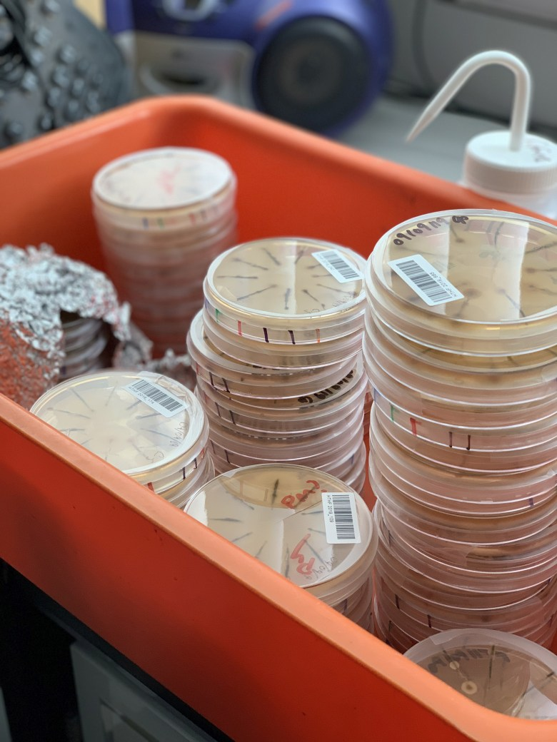 Petri dishes with fungi growing on them