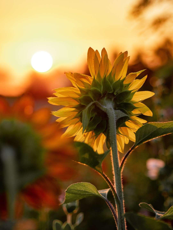 A sunflower facing a setting sun