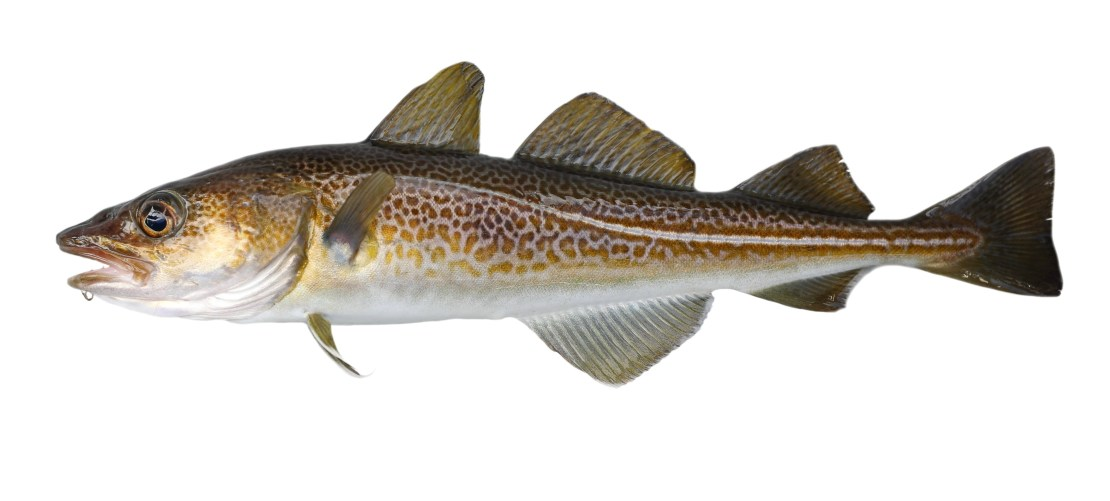 An illustration of a cod fish.