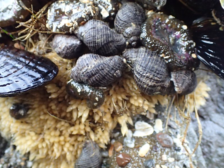 A cluster of small snails on a rock.