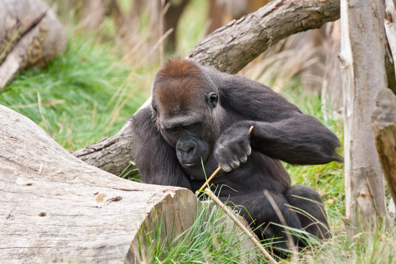Image of a gorilla using a tool.