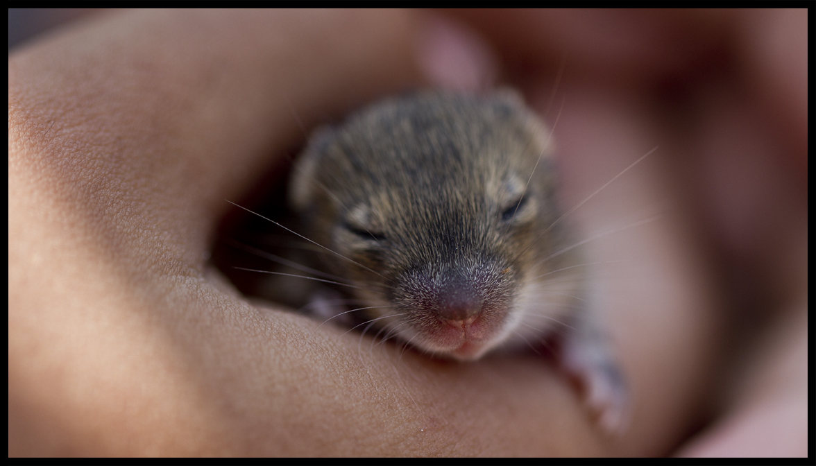 Who's your daddy? Mice nest together to confuse paternity and reduce  infanticide