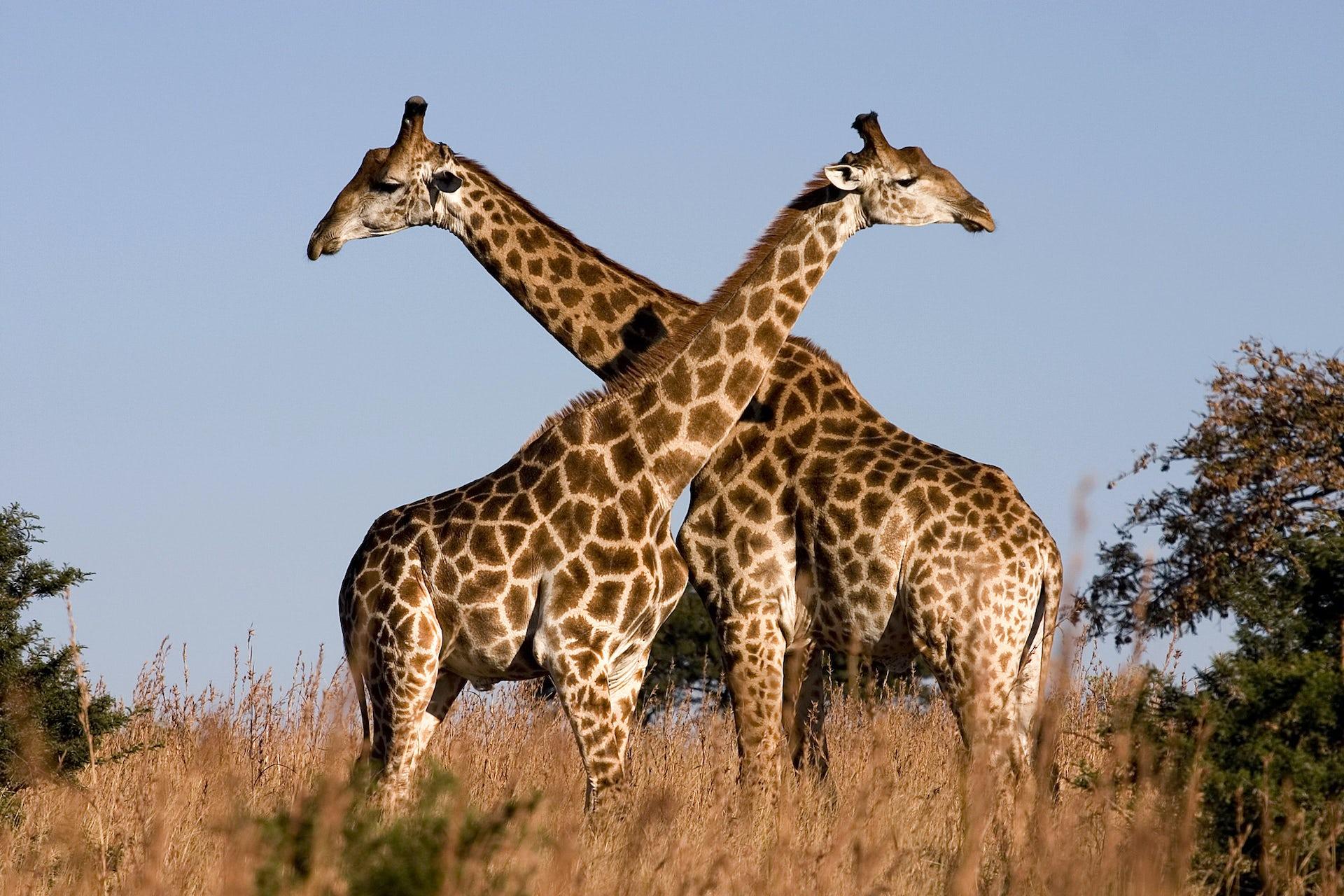 Giraffes Aren T Dangerous But They Will Soon Be Endangered