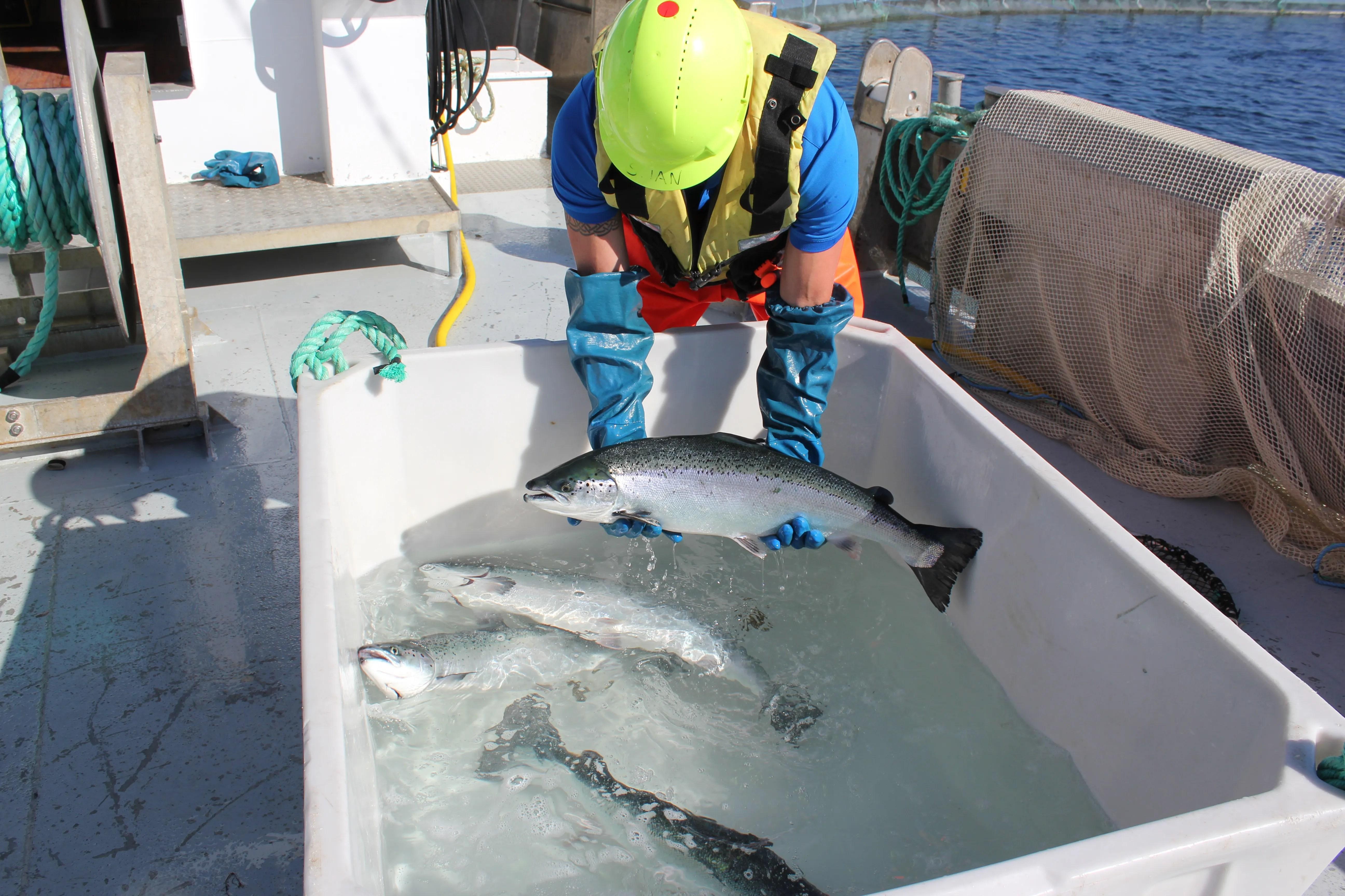 Counting sea lice at Kattholmen salmon farm
