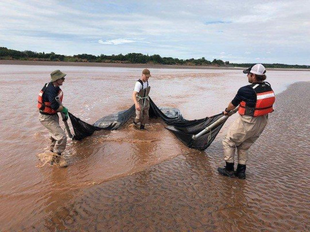 The Mi'kmaw Conservation Group's Shubenacadie River Monitoring Team using a beach seine.