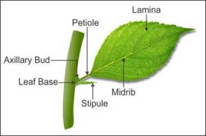 draw a well labelled diagram of a typical leaf n3nzj3v66 Biology  TopperLearning