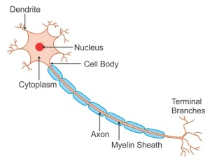 labeled diagram of nerve cell wwudaicc Biology