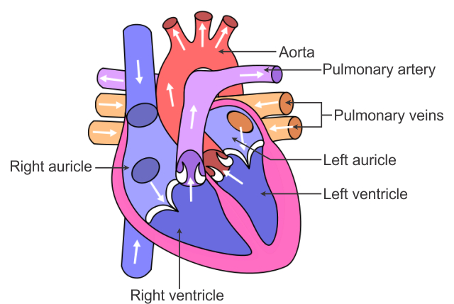 A Draw A Sectional View Of Human Heart And Label On It I Aorta Ii Right Ventricle And Iii Pulmonary Veins B State The Role And Functions Of I Blood Ii