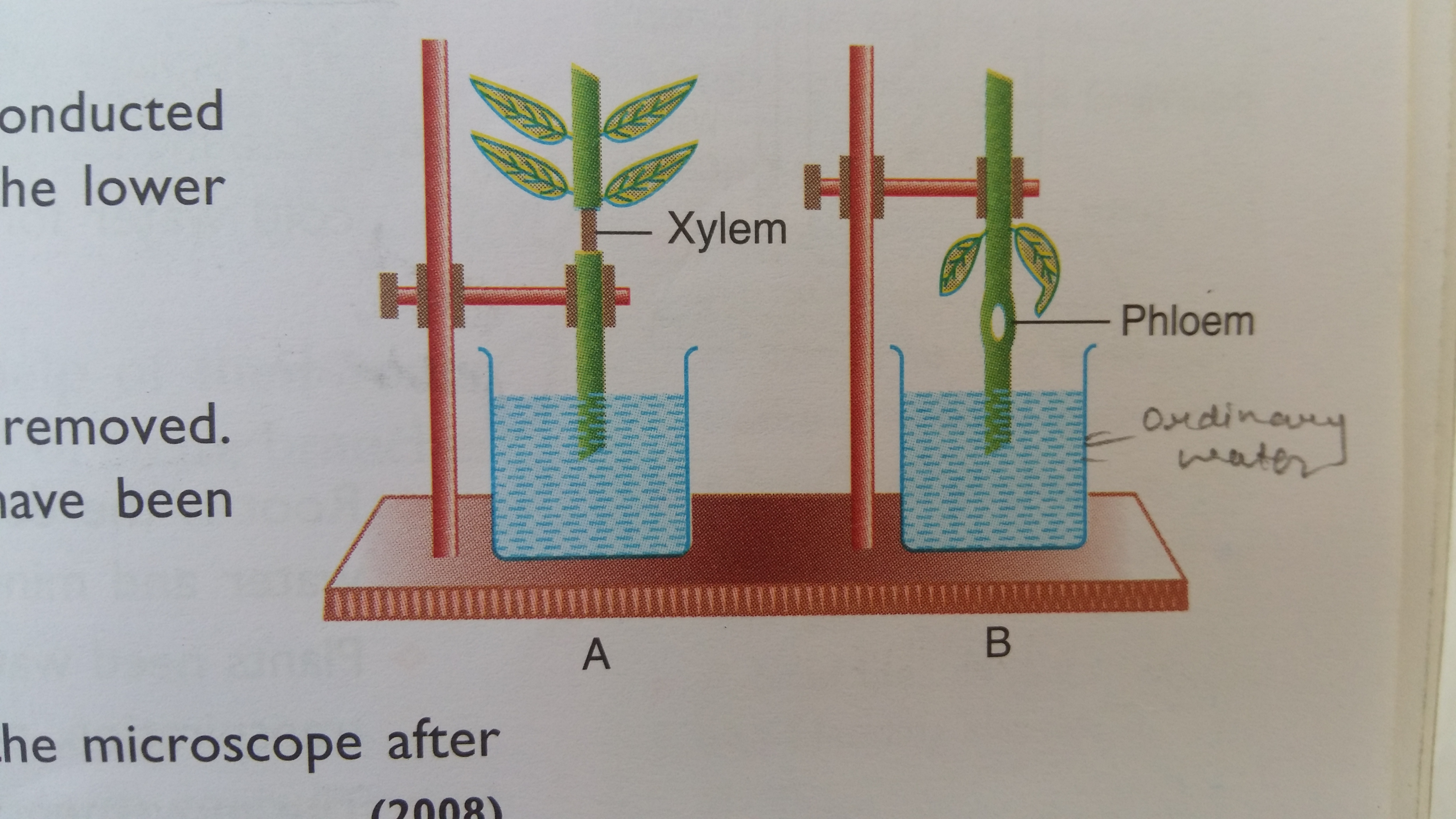 Difference Between Xylem And Phloem Under Microscope
