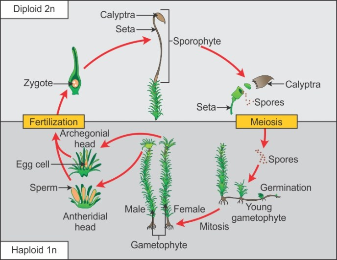 Image result for pteridophytes life cycle