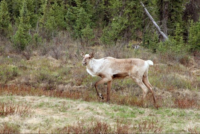 caribou without antlers