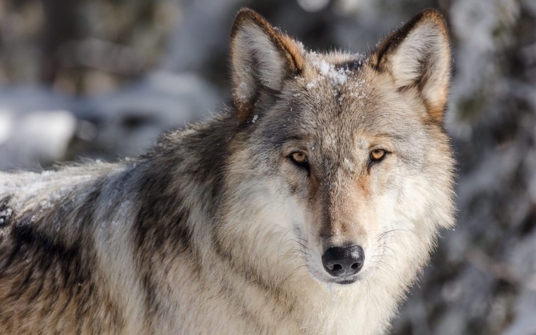 wolf in Yellowstone National Park in the winter