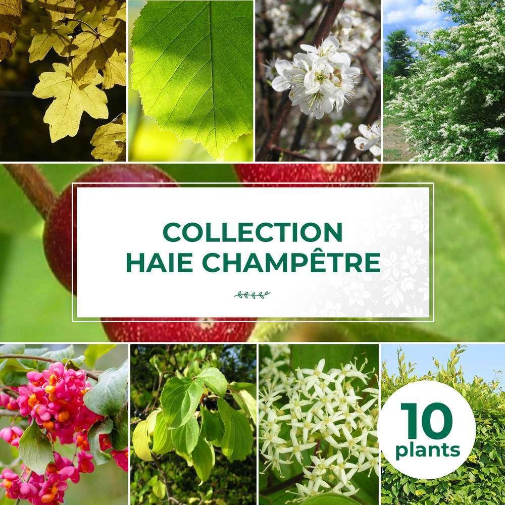 kit haie champetre 10 jeunes plants