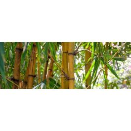 comment planter une haie de bambous