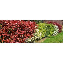 photinia varietes plantation et entretien