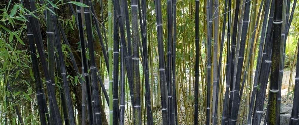 le bambou noir phyllostachys nigra