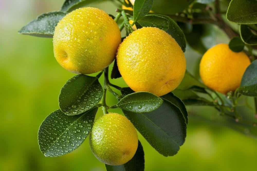 planter tailler et entretenir un citronnier