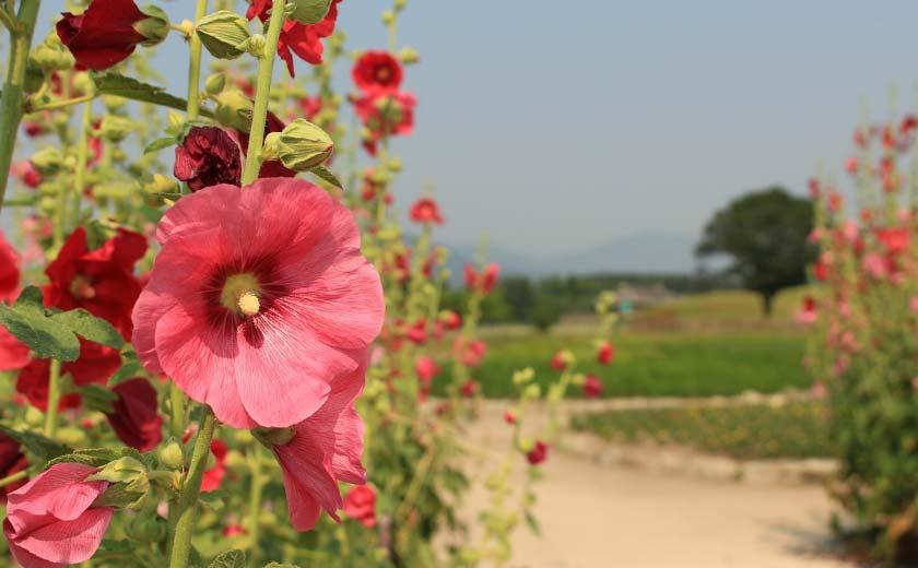 rose tremiere varietes plantation et entretien