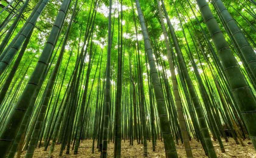 comment entretenir vos bambous