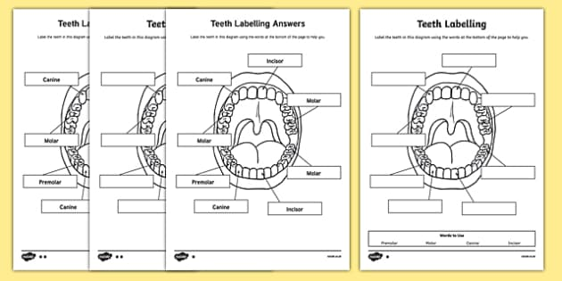 Teeth Labeling Worksheet