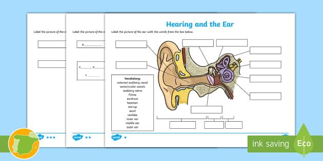 The Sense of Hearing Labeling Worksheet (teacher made)