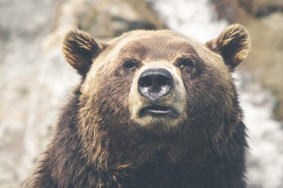 Grizzly Bears: The Fierce Predator of the North