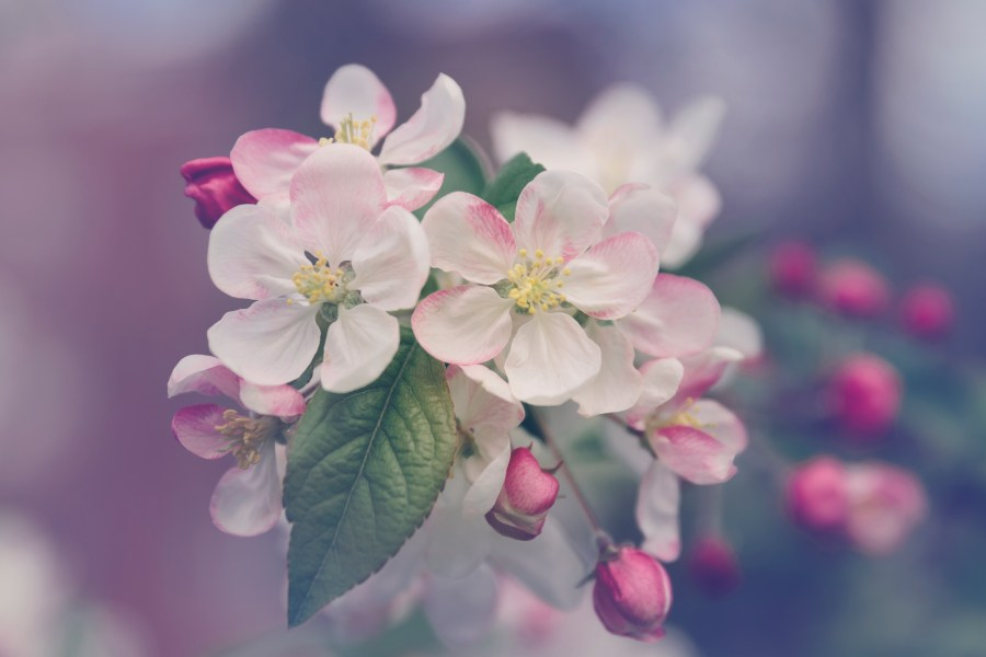 Japanese Cherry Blossom Pictures  HD    Download Free Images on Unsplash closeup photography of white and pink petaled flower