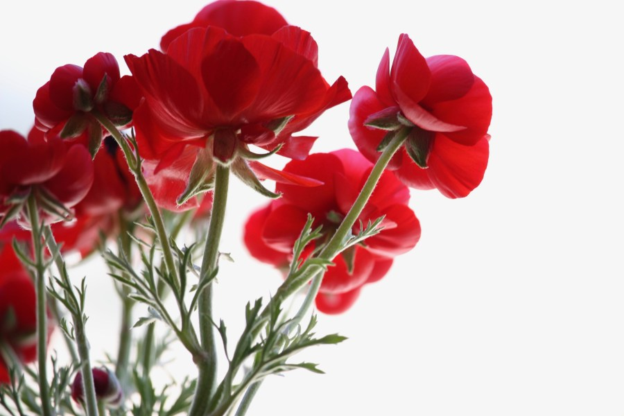 Red Rose Images  HQ    Download Free Pictures on Unsplash low angle view of red petaled flowers
