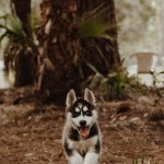 Husky Puppy Pictures Download Free Images On Unsplash