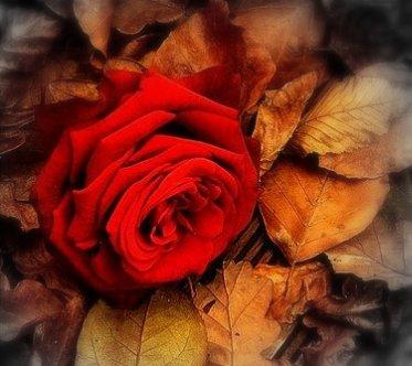 """Résultat de recherche d'images pour """"des roses en automne"""""""