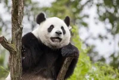 Panda Giganti