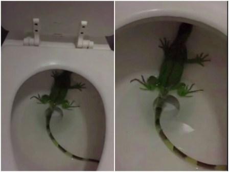 Mulher encontra iguana dentro da privada de casa nos Estados Unidos – Virgula