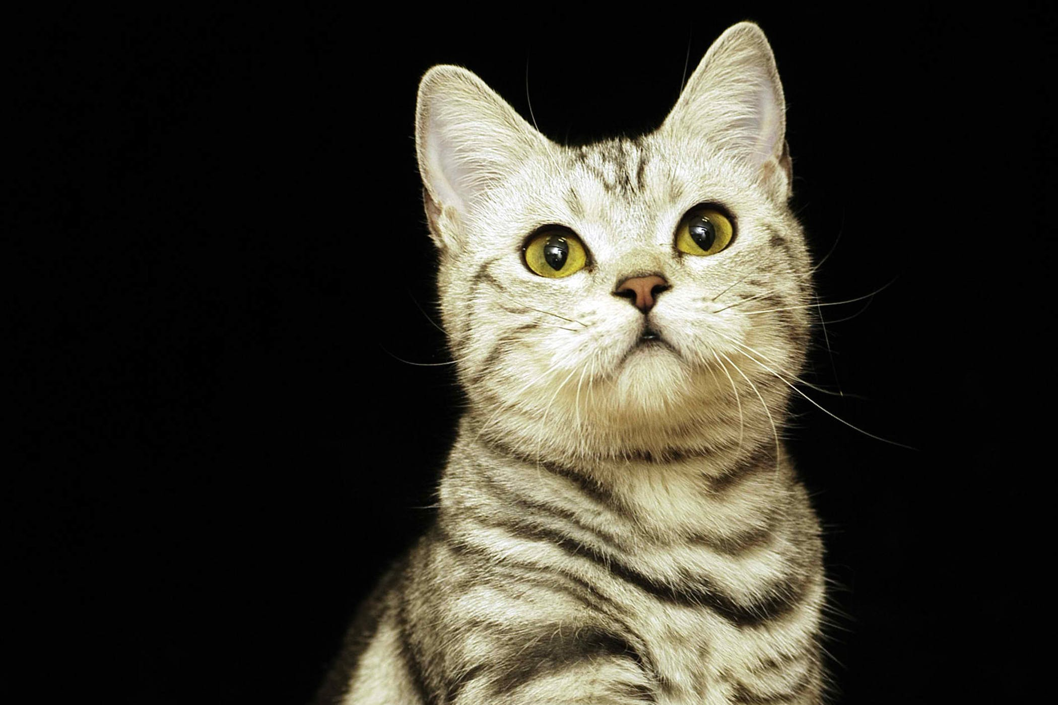 Allergic Shock In Cats Symptoms Causes Diagnosis