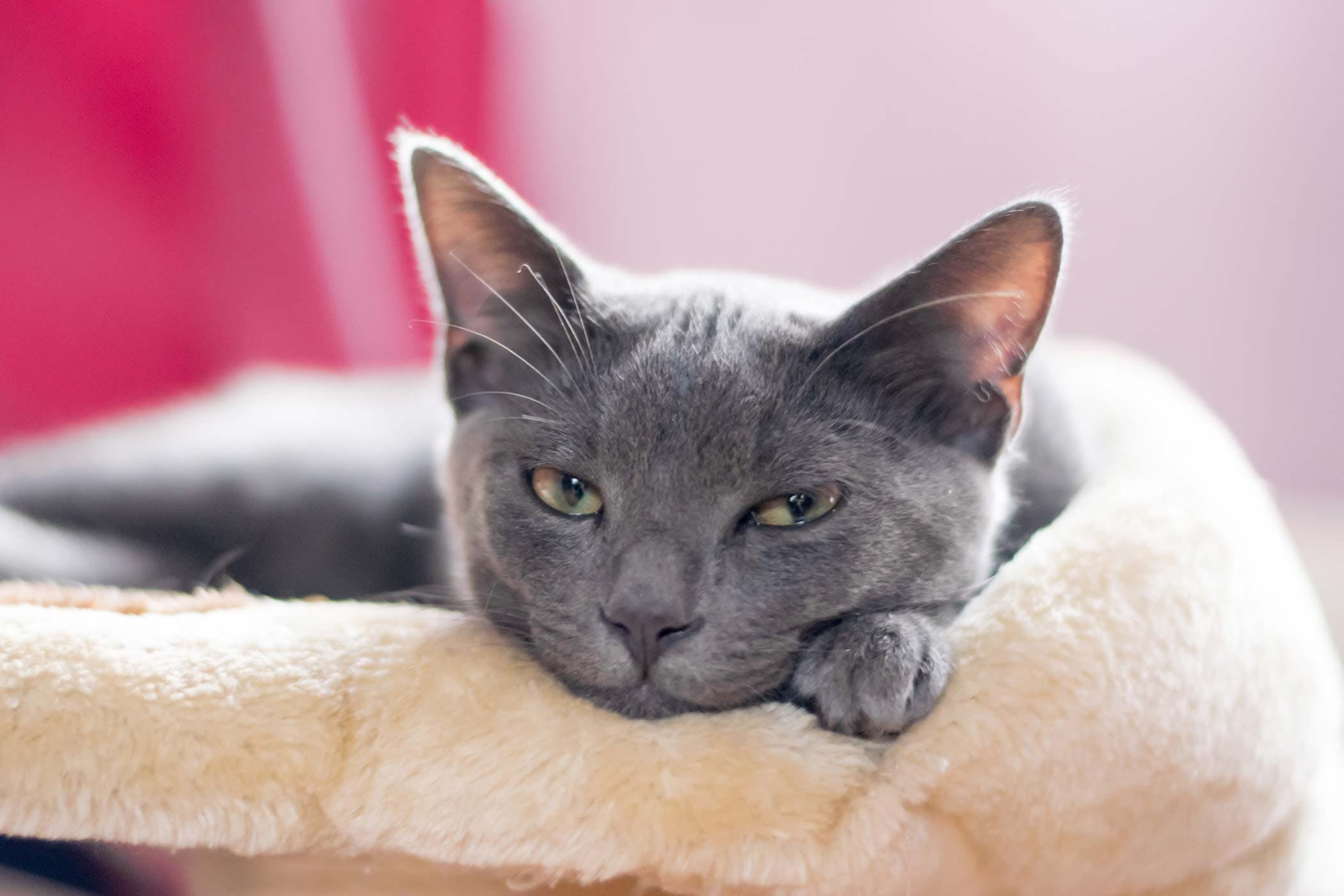 Blood Transfusion Reaction In Cats