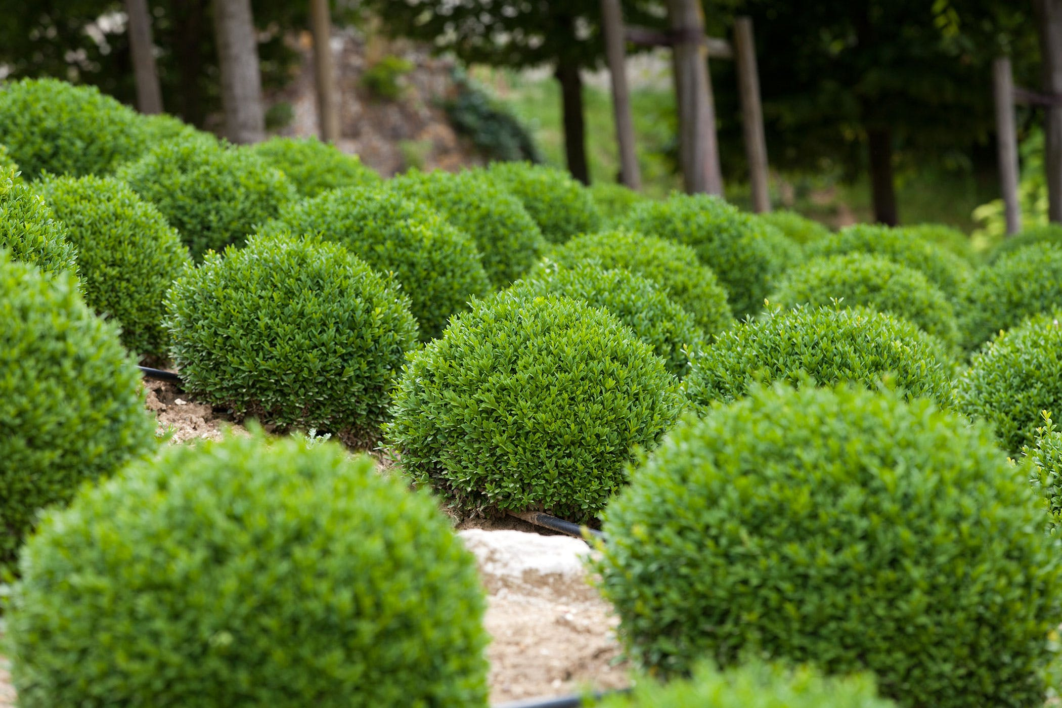 Boxwood Tree Poisoning In Dogs Symptoms Causes Diagnosis