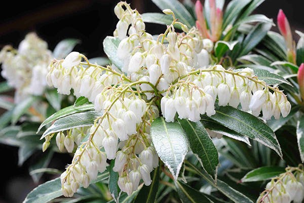 Pieris Poisoning In Dogs Symptoms Causes Diagnosis Treatment
