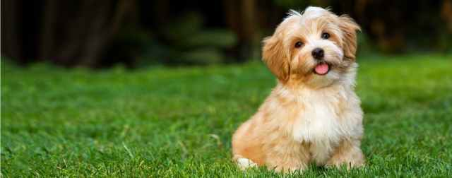Image result for HAVANESE