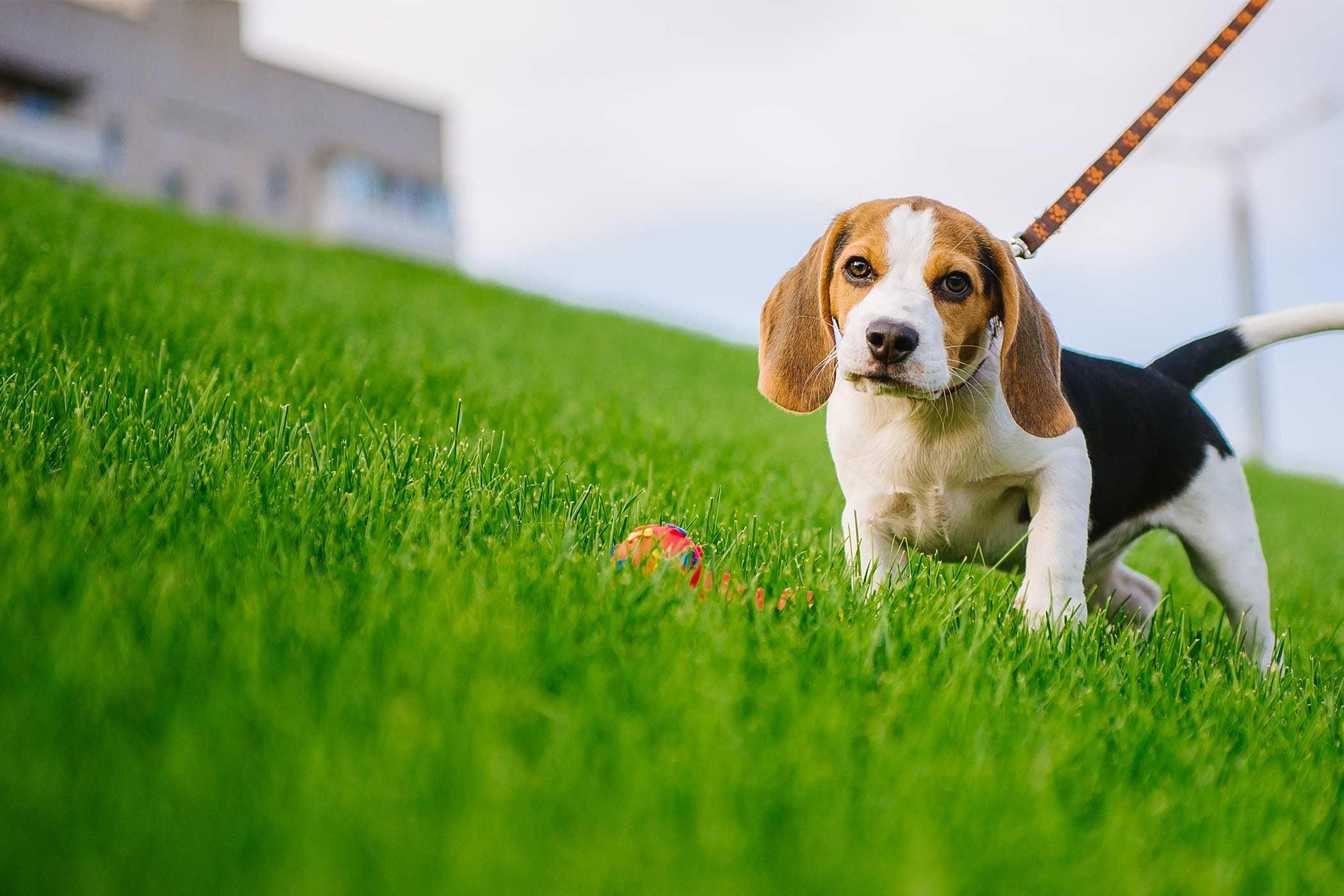 Dog Leash Loose Walking