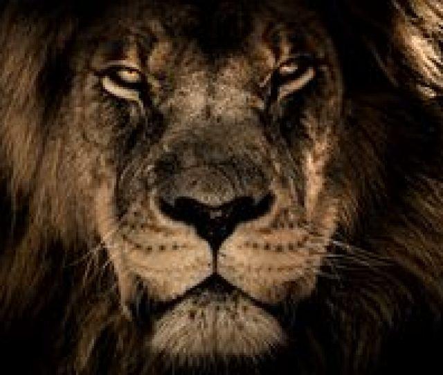 Preview Wallpaper Lion Muzzle Mane Predator Look