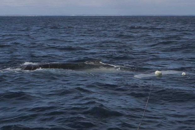 A whale caught in a fisherman's net was rescued off the coast of Two Rocks at the weekend.