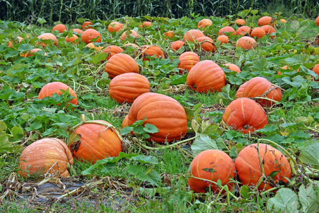 5 Places To Celebrate Amp Pick Pumpkins In New York This